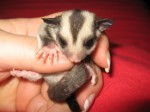 Bright Eyes and Miss Dizzy: Sugar Glider Baby Photos