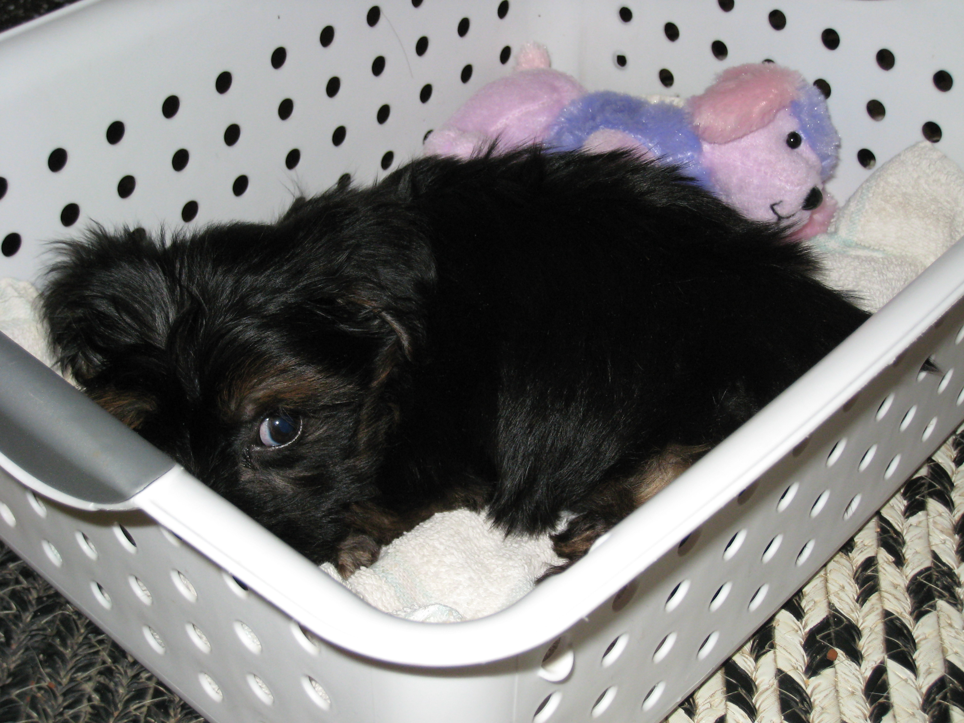 Puppy in a tiny basket